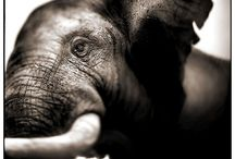 Elephant Love Say NO to Ivory! / My sincere love and desire to bring awareness  to the desperate Ivory Trade. Rhino love too!   / by Zoe Denahy