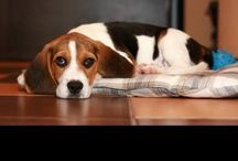 Hounds / by I Love Beagles
