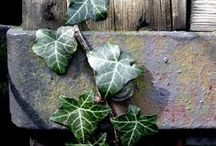 [Ivy, and some other vines] / Nature does nothing uselessly.  ~Aristotle~ / by Anne Comer