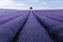 Lavender / by Tina