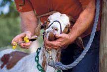 Goats / by The Homespun Journal