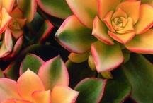 Succulents, Individual Plants / by Pat Esther-Schmidt
