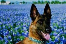 GSD's & Malinois' II / Board dedicated to my Shepherds, Malinois, MWD's & other 4 legged military veterans!  / by C & W Ranch