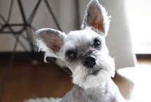 """***Schnauzer love community board*** / For schnauzer lovers. Who wouldn't love a schnauzer?   If you would like to pin to this board, please follow this board and find the red """"ADD ME"""" box and comment """"add me"""" and an invite will be sent to you.  Happy pinning! ***ADDENDUM:  ANY INAPPROPRIATE PINS OR PINS THAT DO NOT BELONG TO THIS BOARD WILL BE DELETED AND WILL BE BLOCKED IMMEDIATELY.*** Use your common sense / by Mary"""