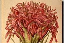Australian Wildflowers / Blooming / Variety of Australian Wildflowers / by State Library of NSW