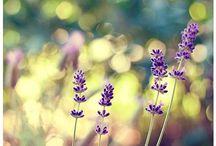 ~ lavender + love ~ / by Vikki B