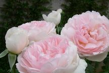 Nature's Beauty: Roses / by Lynne McLawhorn
