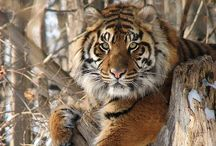 Born to be wild / My favorite wild animals - Big beautiful cats!  / by Shannon