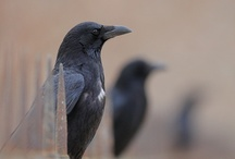 Corvids / by Laurie Thompson