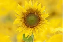 Sunflowers / by Gina Latner