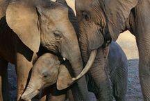 Elephants  / by Joanne Hall