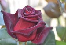 amo le rose / by Mariantonietta S