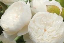 Bloemen-Wit Flowers-White / by Mieke lobker