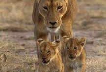 Big five / Lion,leopard,rhino,elephant & buffalo. / by Nico Joubert