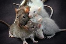 All things Rats! / All things ratty because i love them :-) / by Clare Smith