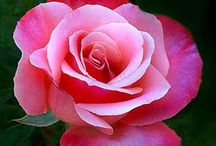 Roses / Nothing quite like the soft beauty of the Rose. / by Beverly Hart