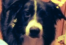 Border Collies-Genius / by Mickey Girl