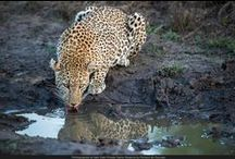 Daily updates at Sabi Sabi  / Daily updates of safaris, sightings and our adventures at Sabi Sabi Private Game Reserve / by Sabi Sabi Private Game Reserve