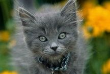 Animals | Blue Cats / by bonnie goat