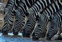 Animals | Land Mammals / by bonniegoat