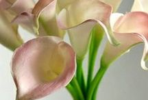 CALLA  LILIES / by isabel carr