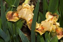 Garden: Iris Inspiration / by Angie Rowe