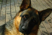 All German Shepherd! / Okay, okay...I have a real soft spot for Germans (being one myself).  They are the best dogs in the world :) / by Charlie Chips