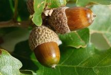 Acorns and Oak  trees... / by Jan Warner