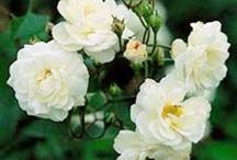 White Gardens / by Lancia E. Smith