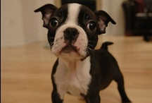Boston Terriers  / one of those dogs you just have to love!! / by Havasu Blue (dEE)