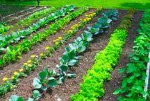 Garden / jardin potager strawbale gardening permaculture / by Roland Belote