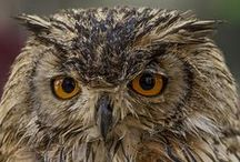 OWLS  / The most fascinating species of bird of the world the OWL. / by Jacob Pol van de