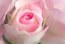 Flowers - Roses / by Mandala Mai