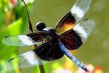 Animals - Dragonflies / by Mandala Mai