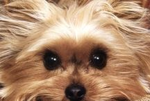 Precious Yorkies / One of my husbands co-workers mother passed away. She was unable to keep and care for her mom's yorkie. This is how we ended up the proud parents of Sofie. A 5 lb, 3 year old, silky terrier. She is the sweetest, most beautiful dog that I have ever known. / by Cindy O'Dear