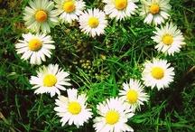 Daisies / My Favorite Flower. / by Cindy O'Dear