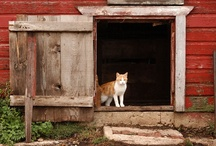 Cats In The Country / I love all cats. Something about an average farm cat tugs at my heart the most. Our cat is a calico short hair. We also have a yorkshire terrier, smaller than the cat. They are fun to watch together. / by Cindy O'Dear