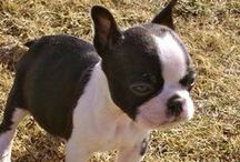 Boston Terriers / by Dianne Fisher