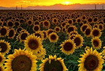 """Sunflower Shack / I love sunflowers. I collect sunflower things and it is my kitchen """"theme"""". / by Annette *"""