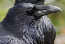 ~ ravenz, crowz, & black birdz ~ / ~ my animal guide in the lower world of journeying ~ / by mary lou