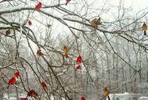 Cardinals / Birds / by Marcia Kortmeyer