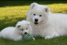 "SAMOYEDS /  Beautiful, sweet loving dogs with the big ""Samoyed smile""!  I'm totally head-over-heels in love with Samoyeds!  Have owned Sammies for over 30 years and can't imagine ever being without one.  Don't let their incredible beauty make you think that they are ""cream puffs.""  They are from Siberia, they love cold, snow & are strong sled dogs! Most important, they are ""family"" dogs, NOT dogs to be left chained outside with no contact. They need to be with their family & will reward you ten-fold! / by Humberta Goncalves-Babbitt"