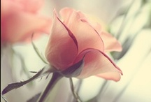 Roses, / by Liz Ronning