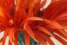 other Flowers - oranges, / by Liz Ronning