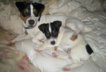 puppylove / Five Jack Russell Terriers - What was I thinking??? / by Elizabeth Tillotson