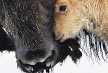 Buffalo & Bison / by Sandra Raichel