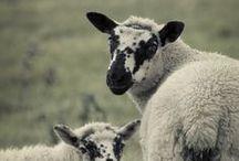Everything lambs/sheep / by sylvia
