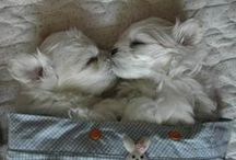 beautiful westies / by Karen Corr