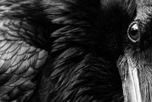 A murder of crows... / by Okey Crow