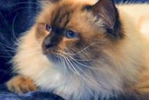 "We're Expecting Fall 2013 Litters! / Our ""solid"" Ragdoll Jewel & Choc. Boy Slate due the end of Oct. This litter will b all Chocolate carriers, blue or seal colorpoint with blue eyes, some ""solid"" with green to auburn eyes.  / by Rags2Love Cattery"